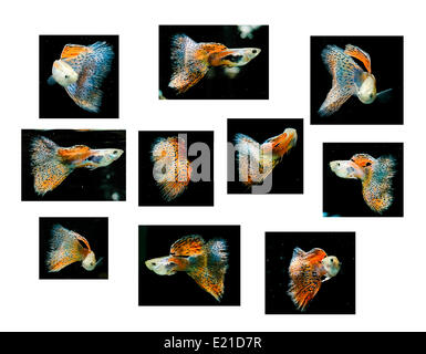 Swimming red guppy, tropical fish pet - Stock Photo