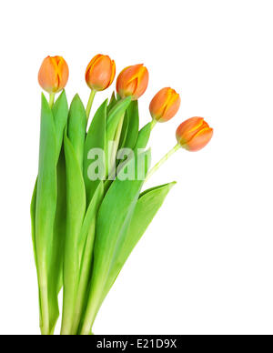 orange tulips - Stock Photo