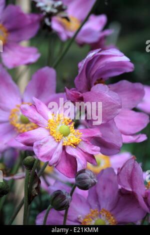 Japanese anemone 'Prinz Heinrich' - Stock Photo