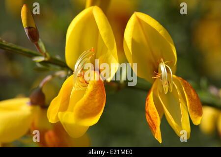 Common broom - Cytisus scoparius - Stock Photo