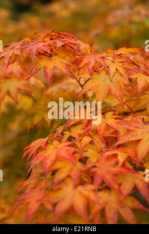 Japanese maple - Acer palmatum - Stock Photo