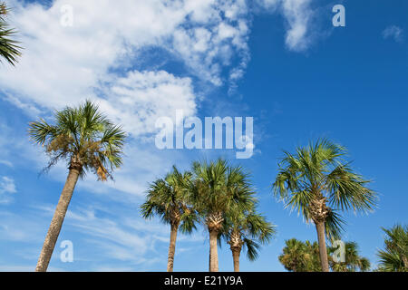 palm trees over blue sky - Stock Photo