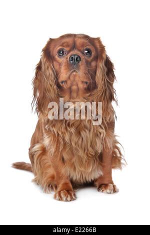 Brown Cavalier King Charles Spaniel - Stock Photo