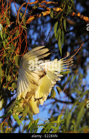 After hanging inverted to forage in this eucalyptus tree, a Little Corella takes flight - Perth, Western Australia. - Stock Photo