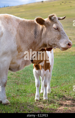 View of a calf near mother on a summer pasture - Stock Photo