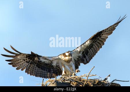 Osprey flying from nest, Pandion haliaetus, sea hawk, fish eagle, river hawk, fish hawk, raptor, Chaffee County, - Stock Photo
