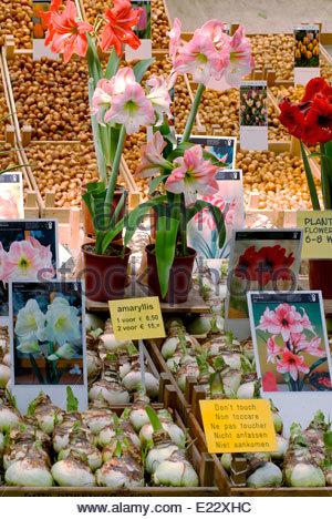 Flowers and Flower Bulbs at the Bloemenmarkt inner city of Amsterdam, Netherlands. - Stock Photo