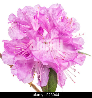 Flowers of the early flowering northern shrub, the PJM Rhododendron in a studio setting. - Stock Photo
