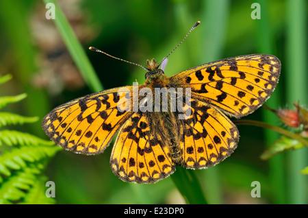 Small Pearl-border Fritillary Butterfly - Boloria selene on Herb Robert - Stock Photo