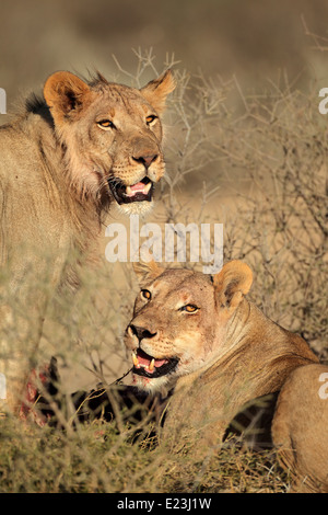 Portrait of two African lions (Panthera leo) feeding on a carcass, Kalahari desert, South Africa - Stock Photo