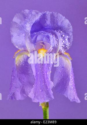 purple iris flower blossom isolated on purple background, closeup - Stock Photo