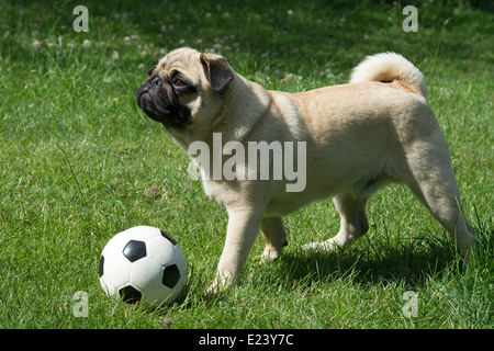 Pug with a football - Stock Photo