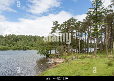 Pine trees on the shore of Tarn Hows, Lake District, a small, pretty lake in Cumbria, northern England, UK - Stock Photo