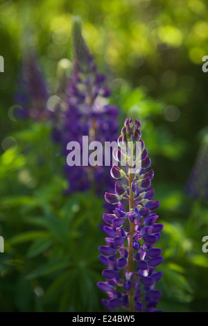 Lupines blooming in june in Finland - Stock Photo