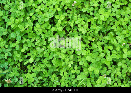 Background of fresh green clover leaves - Stock Photo