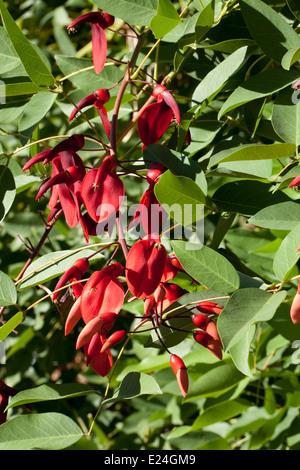 Erythrina crista-galli - Stock Photo