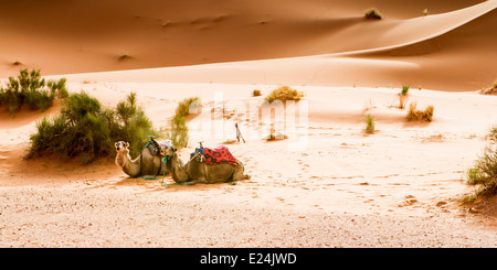Camels resting at the luxury desert camp near Merzouga in the Sahara desert, Morocco, North Africa. - Stock Photo