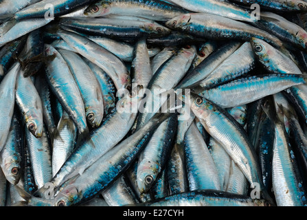 mackerel on fishmongers market stall, rennes, brittany, france - Stock Photo