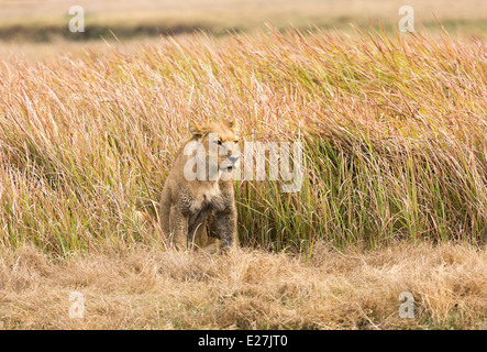 Lioness crouched in dense savannah grass in the Okavango Delta, watchful in preparation for the morning's hunt - Stock Photo