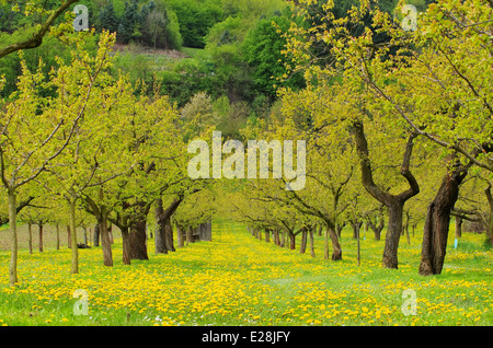Wachau Marillenbaeume - Wachau apricot trees 01 - Stock Photo