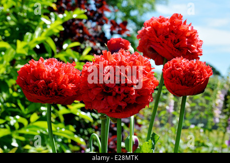 Here we have beautiful Spring Poppy flower. French Flounce also known as Peony Poppy or Carnation Poppy. - Stock Photo