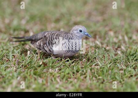 Peaceful Dove (Geopelia placida) adult, foraging on short grass, Cairns, Queensland, Australia, September - Stock Photo