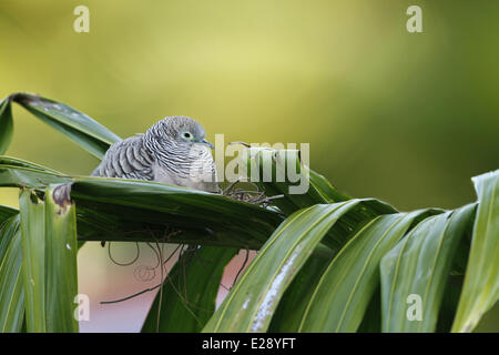 Peaceful Dove (Geopelia placida) adult, sitting at nest on palm leaves, Cairns, Queensland, Australia, September - Stock Photo
