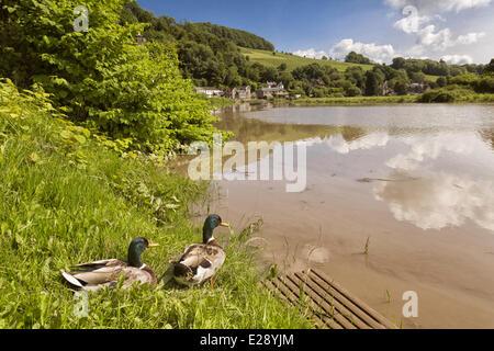 Mallard Duck (Anas platyrhynchos) two adult males, on riverbank in habitat, River Wye, Tintern, Wye Valley, Monmouthshire, - Stock Photo