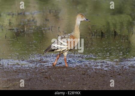 Plumed Whistling-duck (Dendrocygna eytoni) adult, walking on mudflat, Hasties Swamp N.P., Atherton Tableland, Great - Stock Photo