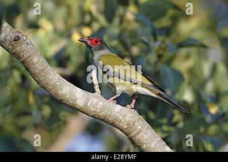 Green Figbird (Sphecotheres viridis) adult male, perched on branch, Cairns, Queensland, Australia, October - Stock Photo