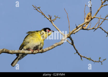 Australasian Figbird (Sphecotheres vieilloti flaviventris) 'Yellow Figbird' subspecies, adult male, perched on branch, - Stock Photo