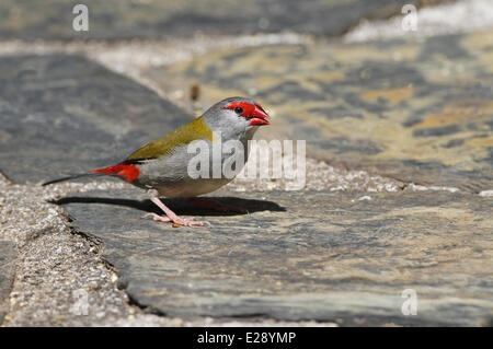 Red-browed Finch (Neochmia temporalis) adult, foraging on ground, Atherton Tableland, Great Dividing Range, Queensland, - Stock Photo