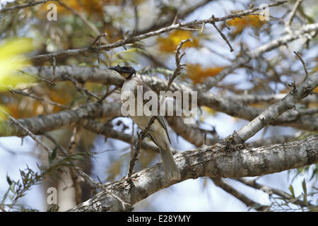 Noisy Friarbird (Philemon corniculatus) adult, perched on Honey Grevillea (Grevillea eriostachya) twig, Queensland, - Stock Photo