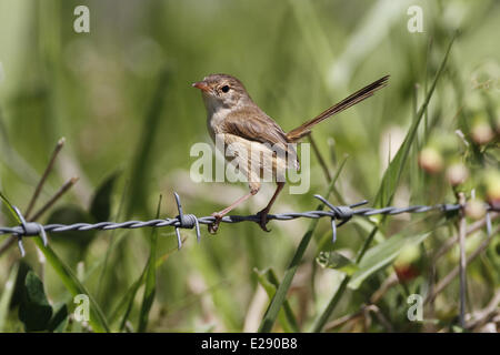 Red-backed Fairywren (Malurus melanocephalus) adult female, perched on barbed wire fence, Atherton Tableland, Great - Stock Photo