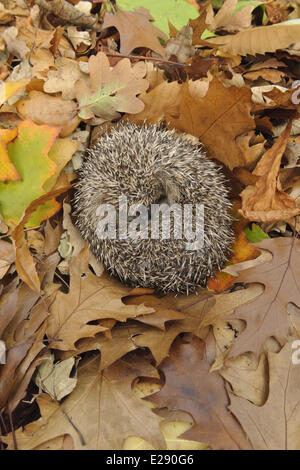 European Hedgehog (Erinaceus europaeus) immature, rescued animal sleeping amongst fallen leaves in garden, Staffordshire, - Stock Photo