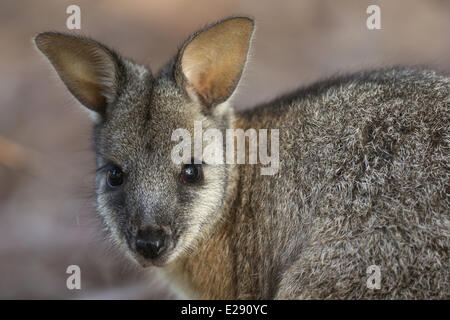 Tammar Wallaby (Macropus eugenii) adult, close-up of head, Kangaroo Island, South Australia, Australia, February - Stock Photo