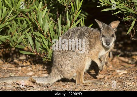Tammar Wallaby (Macropus eugenii) adult, Kangaroo Island, South Australia, Australia, February - Stock Photo