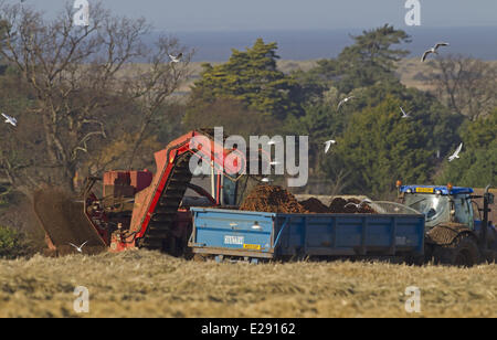 Carrot (Daucus carota) crop, harvester loading roots onto tractor and trailer, Norfolk, England, February - Stock Photo