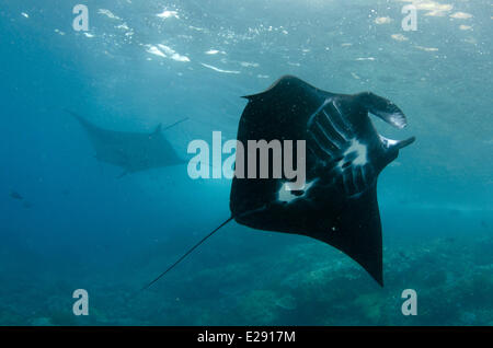 Giant Oceanic Manta Ray (Manta birostris) two adults, feeding, swimming over reef, Padar Island, Komodo N.P., Lesser - Stock Photo