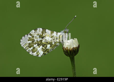 Orange-tip Butterfly (Anthocharis cardamines) adult female, resting on daisy, Norfolk, England, May - Stock Photo