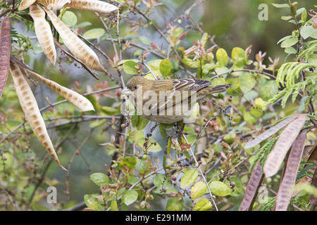 Common Rosefinch (Carpodacus erythrinus) adult female, feeding on berries, Hong Kong, China, February - Stock Photo