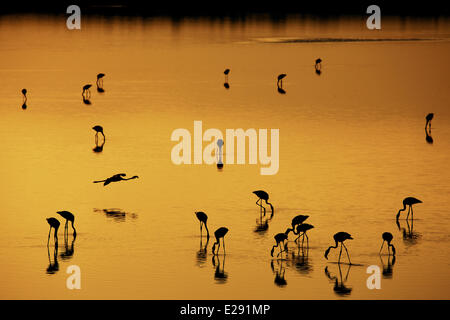 Greater Flamingo (Phoenicopterus roseus) flock, feeding in shallow water, silhouetted on soda lake at sunset, Lake - Stock Photo