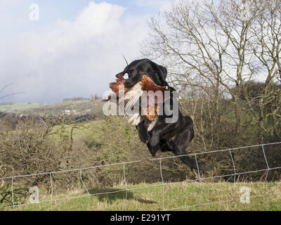 Domestic Dog, Black Labrador Retriever, adult, holding shot Common Pheasant (Phasianus colchicus) in mouth, leaping - Stock Photo