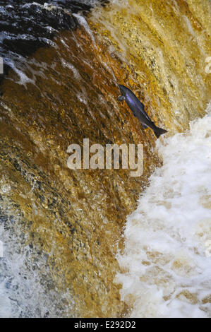 Atlantic Salmon (Salmo salar) adult, leaping up cascade, travelling upstream to spawning ground, Stainforth Force, - Stock Photo