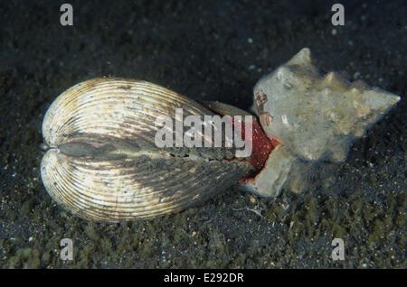 Trapezium Horse Conch (Pleuroploca trapezium) adult, attacking Elongate Heart Cockle (Acrosterigma elongata) prey, - Stock Photo
