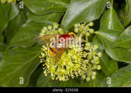 Hornet Mimic Hoverfly (Volucella zonaria) adult, feeding on ivy flowers, Norfolk, England, September - Stock Photo