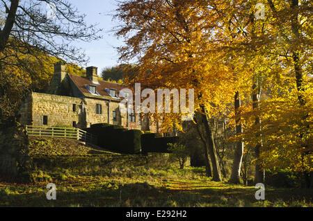 Common Beech (Fagus sylvatica) mature trees, in autumn colour, Osmotherley, Hambleton Hills, North York Moors N.P., - Stock Photo