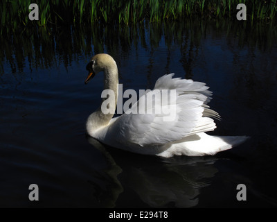 White swan in high contrast - Stock Photo