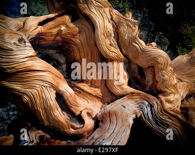 Gnarled exposed roots of Bristlecone Pine Tree. Ancient Bristlecone Pine Forest, Inyo county, California