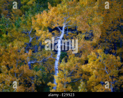 Aspen trees in fall color , Eastern Sierra Nevada Mountains, California - Stock Photo
